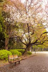 Cherry blossom at Ueno Park, Tokyo, Kanto Region, Honshu, Japan