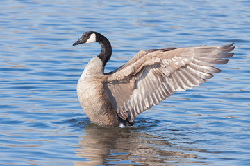 Angelic Goose Spreads its Wings