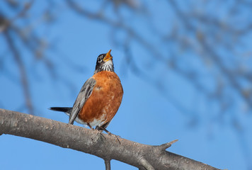 A robin sings into the wide blue open