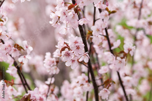 Bright and delicate pink flowers on an apple tree close up spring bright and delicate pink flowers on an apple tree close up spring is a mightylinksfo
