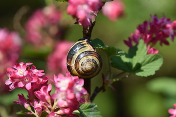 Snail sitting on the branch of a flowering currant (Ribes sanguineum)