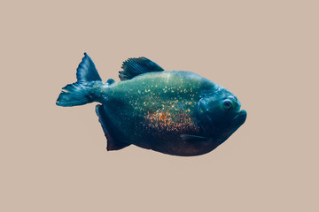 piranha isolated in grey background