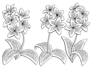 Plumeria flower graphic black white isolated sketch set illustration vector