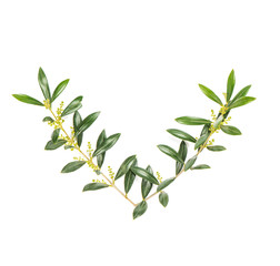 Olive tree branches isolated white background Green leaves
