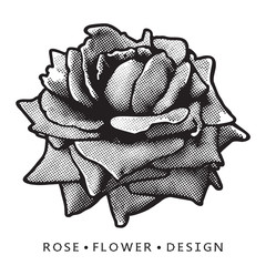Rose bloom close up vector graphic image. Detailed clip art illustration of flower isolated on white background as floral design element for logo or template.