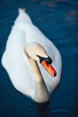 close up portrait of white swan on the water lake
