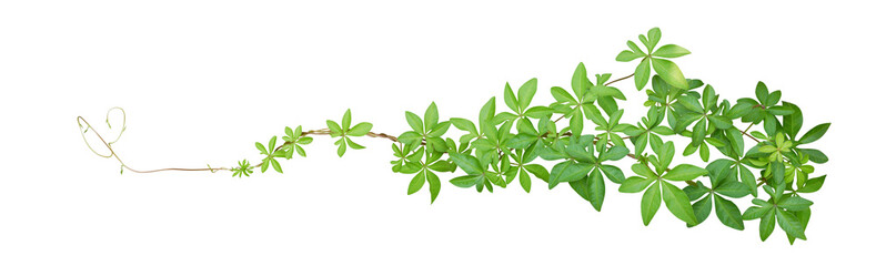 Wild morning glory leaves tropical plant climbing on twisted jungle liana isolated on white background, clipping path