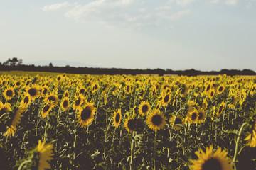 sunflowers farm in bloom