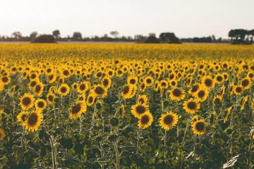 A sunflowers farm