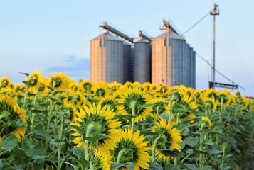 Sunflower farm and silo in twilight
