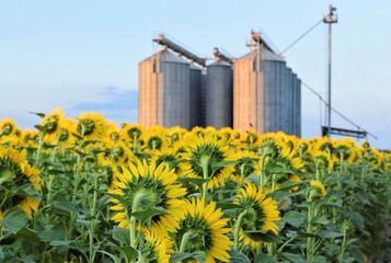 Sunflower farm and silo in twilight