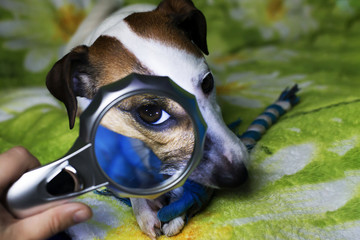 Jack Russell Terrier funny, photo through a magnifying glass