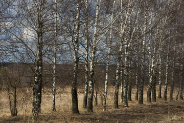 Birches at the road