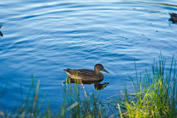 Duck near the thickets on the background of a blue pond 1136.