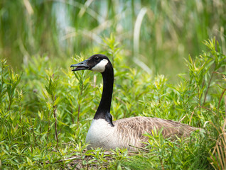 Nesting Canadian Goose sitting on her eggs in the reeds. Natural green background.