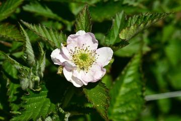 Blackberry bush flower blossom