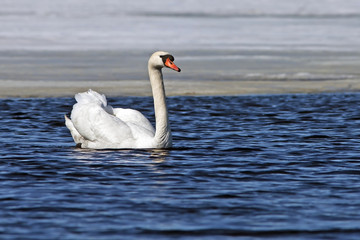 beautiful white Swan swims in the blue lake