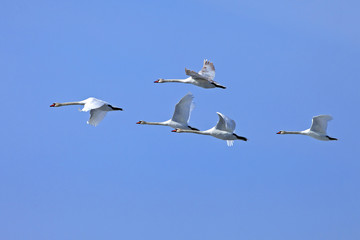 a flock of white swans flying against the blue sky