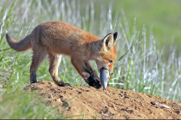 young little Red fluffy Fox eats fish
