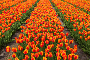 Field of orange tulips flowers.