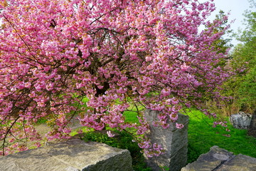 Blossoming Japanese cherry /Pink flowering tree over nature background / Spring tree / Beautiful pink tree