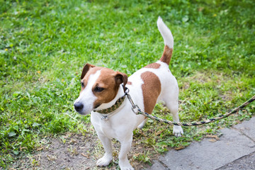 Jack Russell Terrier in the park