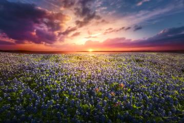 Texas Bluebonnet Sunset