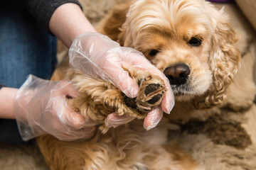 Woman in gloves check dog paws for insect