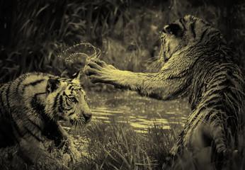 Lions fighting wild