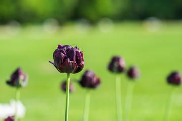 Dark blue black tulip alone in the green summer garden seed