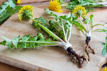 Whole dandelion plant with root on a table