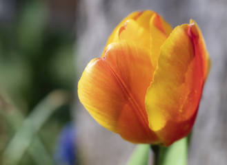 Close up, Side View of Yellow and Orange Tulip
