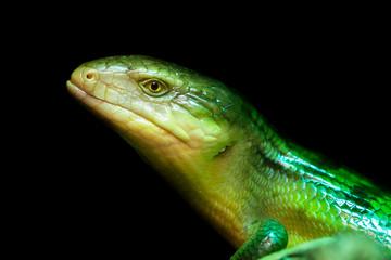 Tanimbar skink, green lizard standing on a piece of wood. Tiliqua scincoides chimaerea close up.