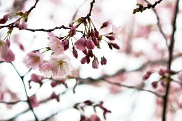 Sakura flowers blossom. Japan cherry tree in garden, spring time