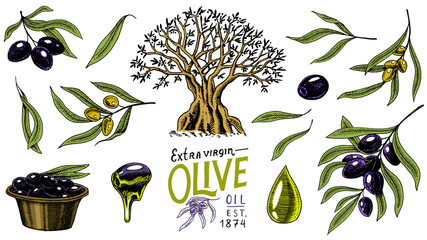 Set of Olive oil and branch of trees. Organic vegetarian product in bottle. Green plant for healthy diet. Black fruit for cooking food. Engraved hand drawn in old vintage sketch. Vector illustration.