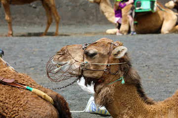 Close up of camel with muzzle resting and waiting for tourists to arrive for camel rides in Lanzarote, Spain