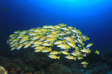 Blue-lined Snapper fish