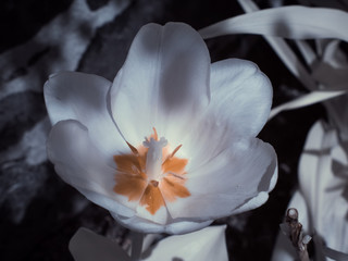 infrared photography - ir photo of a flower