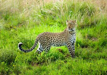 Leopard Wildlife South Africa