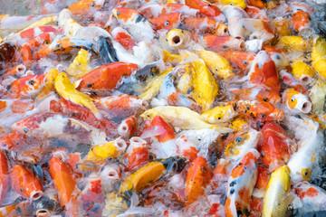 feeding carp/koi fish in pond.Koi or more specifically nishikigoi are colored varieties of Amur carp (Cyprinus rubrofuscus)