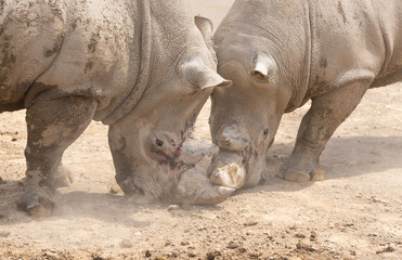 Two large rhinos aggressively fighting each other in the mud