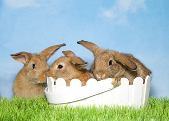 Three adorable brown baby bunnies, two in basket and one sitting next to it in green grass with blue background sky with clouds. Copy space.