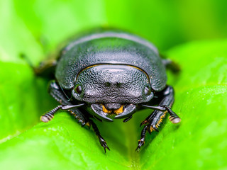 Dark Beetle Insect on Green Leaf Background