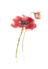 Red poppy flower on white, watercolor illustrator