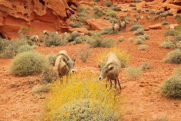 Desert bighorn sheep in Valley of Fire, Nevada, USA.