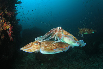 Pharaoh Cuttlefish. Pair mating with second male in background