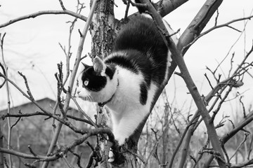 A black and white photo of a black and white cat with big eyes scrambles on a tree