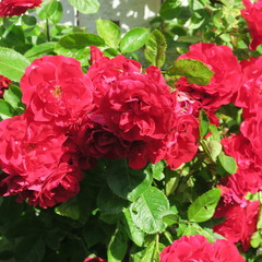 red dogrose, with many flowers in the garden