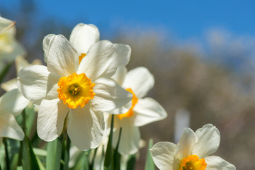 Photo sur Aluminium Blooming spring flowers daffodils in early spring garden