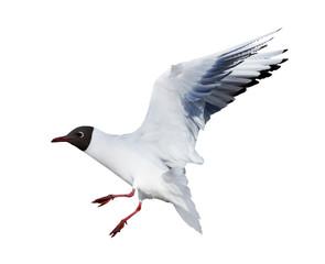 isolated small flying black headed gull